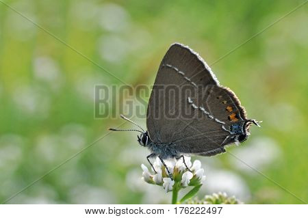 Satyrium spini, Blue Spot Hairstreak butterfly - Lycaenidae family, Background with butterfly on wildflowers