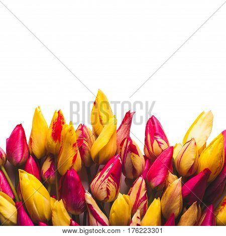 Colorful Tulipes_4
