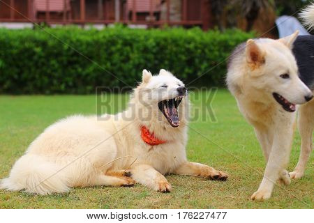 Dog yawns lying on green grass with another dog standing