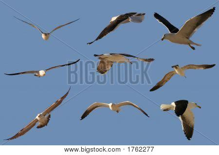 13 Several Seagulls