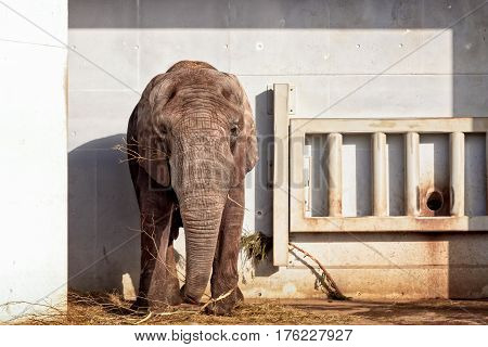 An African elephant eating at the Tallinn zoo in Estonia. The elephants actually have a large outdoor yard but this bull enjoyed his meal in a very small place by the wall.