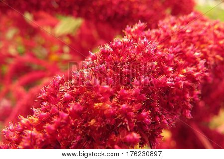 Close-up macro shot of pink Amaranth flower leaves in vegetable garden