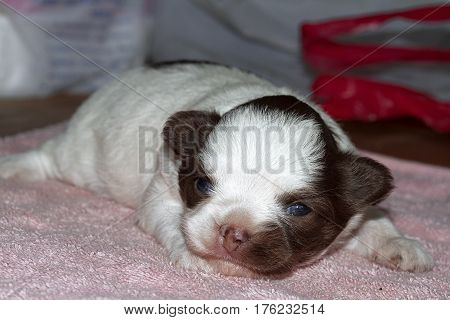 puppy dog baby pet Young Animal Chihuahua