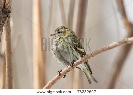 The photo depicts a siskin in the snow