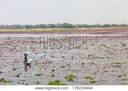 Old man in small boat on blooming red lotus (water lilies) pond natural tranquil rural scene.