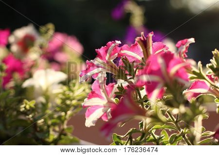 Pink and white color petunia flower on sunset background. Close up shot summer time