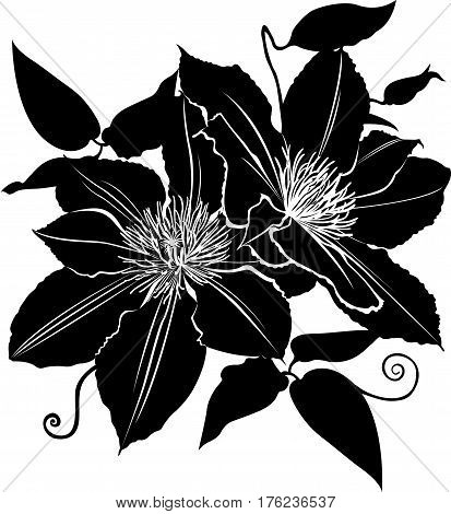 clematis. flower clematis. Branch of flowers of clematis vector. Hand drawn vector illustration of clematis flowers