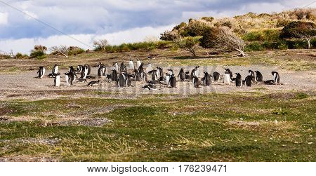 Some King and Papua penguin colony seaside