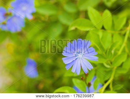 Bright blue wildflower Common chicory or Cichorium intybus in summer. Close up flower Chicory