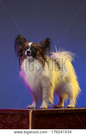 Studio portrait of a small yawning puppy Papillon dog on blue studio background