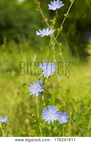 Bright blue wildflowers Common chicory or Cichorium intybus in summer field. Close up flowers Chicory