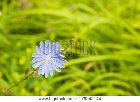 Bright blue wildflower Common chicory or Cichorium intybus in summer field. Close up flower Chicory