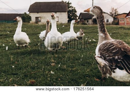 Geese Grazing In Green Summer Grassland. Group Of Goose With White Grey Feathers In Countryside Farm