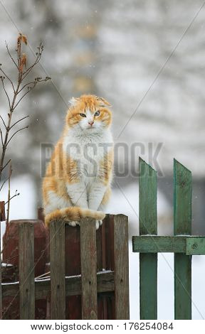 tattered ginger cat sitting on a wooden fence in the village during a snowfall