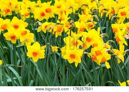 close up yellow daffodil flowers blooming in spring panoramic background texture