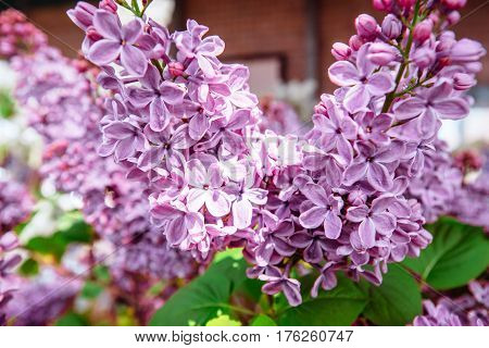 Lilac. Purple . Bouquet Of  Lilacs. Beautiful Flowers