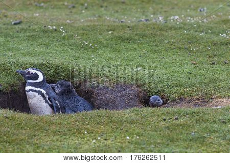 Adult Magellanic Penguin (Spheniscus magellanicus) with a nearly fully grown chicks next to its burrow on the grasslands of Bleaker Island in the Falkland Islands.