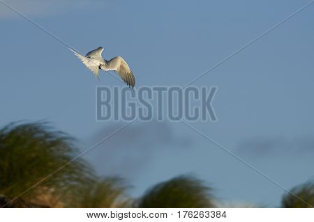 South American Tern (Sterna hirundinacea) in flight on the coast of Bleaker Island in the Falkland Islands.