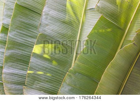 Ravenala madagascariensis plants (banana) with green leaves. Close up. poster