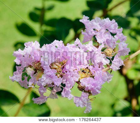 Lagerstroemia Indica Flowers