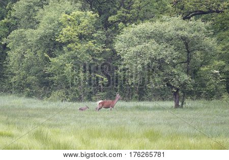 Hind With Calf Walking On Meadow