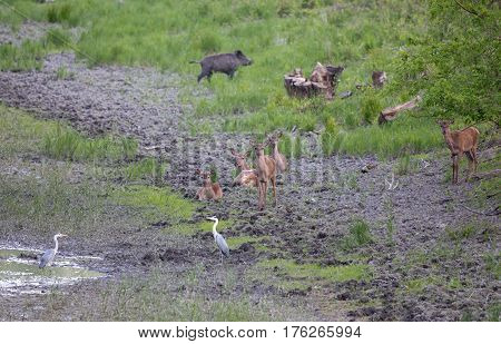 Hinds, Wild Boar And White Herons Beside Pond