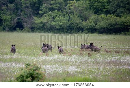 Wild Boars With Piglets Running Away
