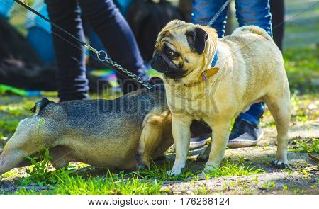 Dog pug. Meeting two dogs of a bulldog and a pug