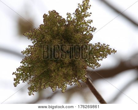 Green blossoms from a Japanese Maple variety against an abstract background of white and black.