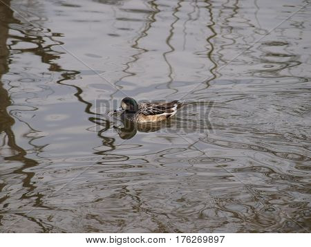 A chiloe wiggeon duck from South American.