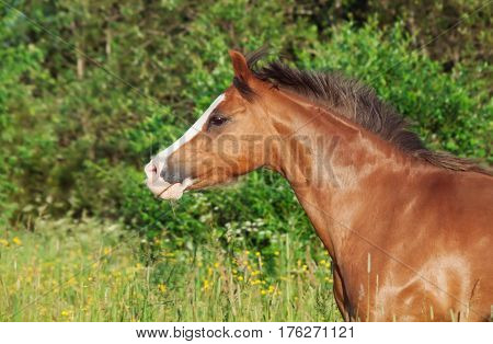 portrait of running welsh pony in the field at freedom