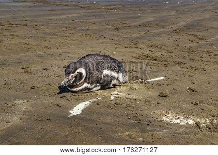 Lonley Penguin At Beach Chubut Argentina
