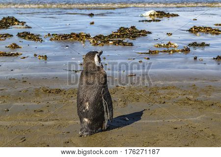 Lonley Penguin At Shore Chubut Argentina