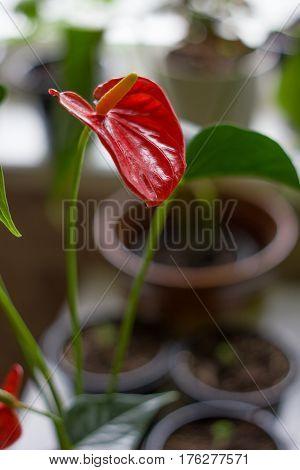Red anthurium flower for Valentine's day celebration.