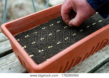 Farmer`s  Hand  Precisely Planting Seeds For Pepper Seedlings