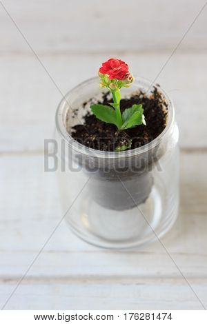 red flower of kalanchoe - small home plant.
