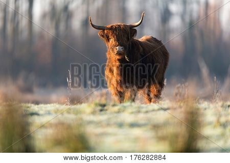 Highland Cattle Standing In Meadow With Grass Hanging Out Mouth.