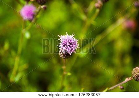 Cirsium arvense or creeping thistle plant as background of nature focus view from above