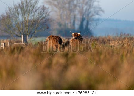 Highland Cattle In Tall Grass Lit By Low Sun.