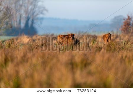 Cute Highland Calf Standing In Tall Grass Meadow.