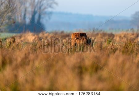 Young Highland Cattle Standing In Tall Grass.