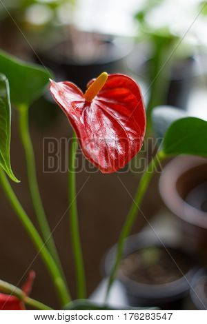 Red anthurium flower for Valentine's day with green leaves.