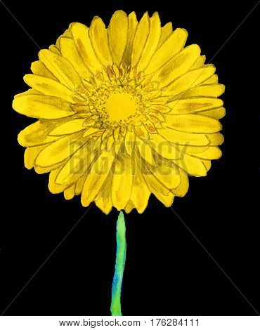 Yellow gerbera flower on black background watercolor painting.