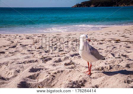 Sea gull on beach in Tasmania, Australia