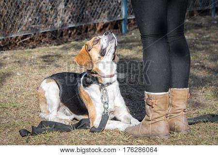 Beagle Dog Lying Behind Its Owner Legs And Looking Up Loyal During The Dog Training Course