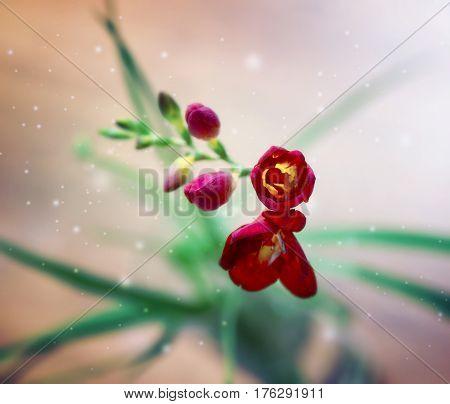 single flower red fragrant springtime freesia on blurred background