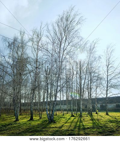 Birches on a clear sunny day near the old building