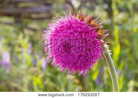 Thistle Flower In Bloom In The Field. Backlight. Shallow Depth Of Field. Milk Thistle Plant (silybum