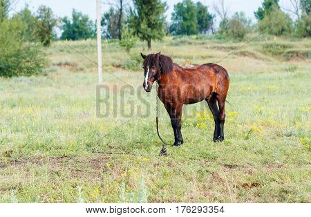 Brown horse in the field. Brown horse grazing on a leash horse in the field at the evening