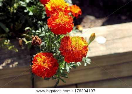 Orange and yellow marigolds growing on the edge of a garden on a sunny day.